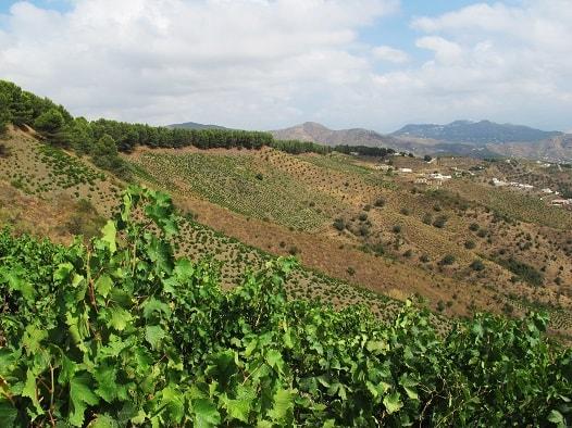 Muscat White Wine| Jorge Ordoñez