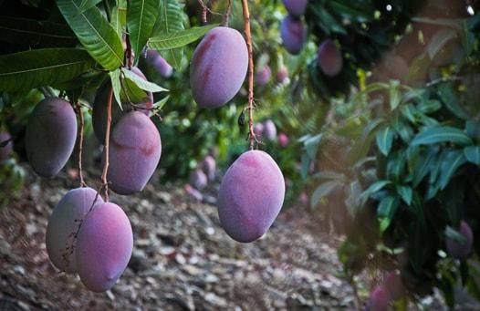 mango tree in malaga