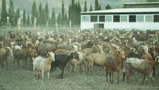 casabermeja goat