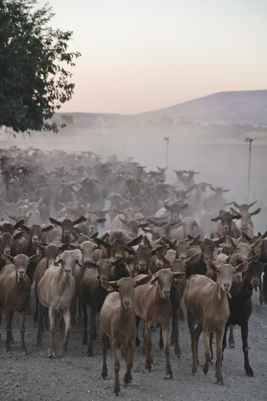 goat malaguena