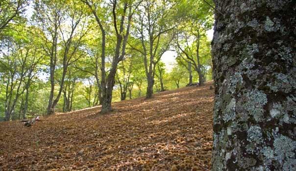 chestnut trees pujerra