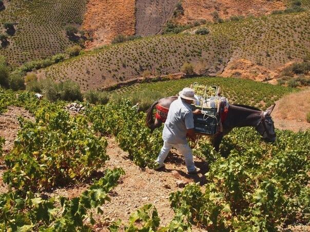 wines of malaga