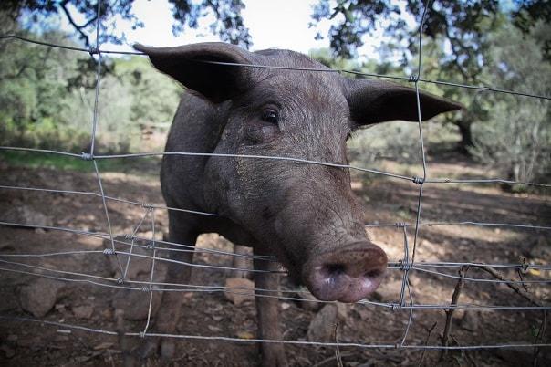 acorn fed iberian pork