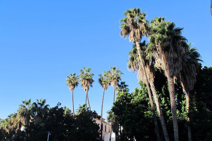 palm trees malaga