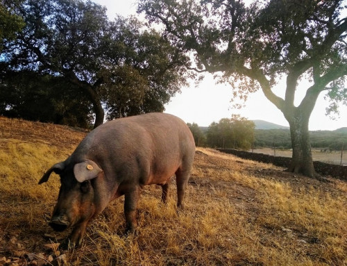 A Paradise for Iberian Pork Lovers – Monesterio in Extremadura